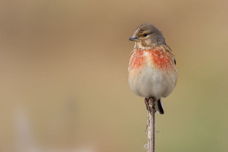 Linnet male in spring Carduelis Cannabina Hänfling Linotte Mélodieuse Pardillo Común Animal Themes Animal Wildlife Animals In The Wild Beauty In Nature Bird Day Linnet Male Breding Plumage Nature No People One Animal Outdoors Perching Red
