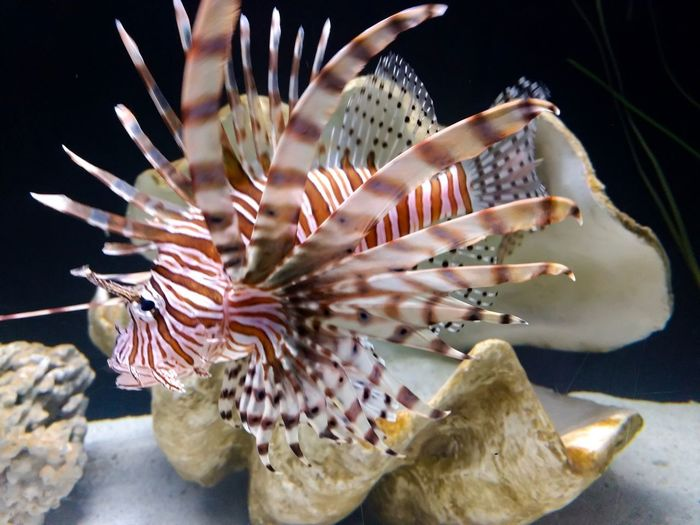 Lionfish Oyster  Shell Lionfish (Pterois Volitans) Animal Themes Sea Life Marine Animal Animals In The Wild Animal Wildlife Underwater Sea Water Tank Animals In Captivity Vertebrate Fish Swimming Close-up No People Aquarium One Animal UnderSea