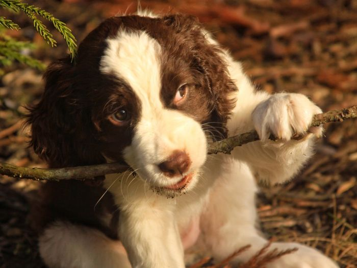 Spaniel Bird Dog Hunting Sporting Dog Brown And White Liver And White Puppy English Springer Spaniel Mammal One Animal Pets Domestic Animals Domestic Canine Dog Close-up Focus On Foreground Portrait Day Looking No People Looking Away