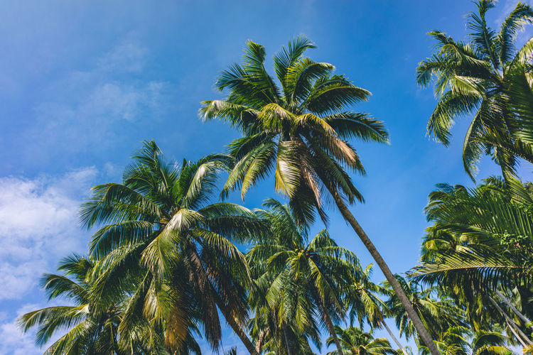 Palms with blue sky background Plant Sky Palm Tree Tree Low Angle View Tropical Climate Growth Leaf Green Color No People Nature Plant Part Beauty In Nature Day Coconut Palm Tree Cloud - Sky Outdoors Blue Tropical Tree Palm Leaf Palms Blue Background