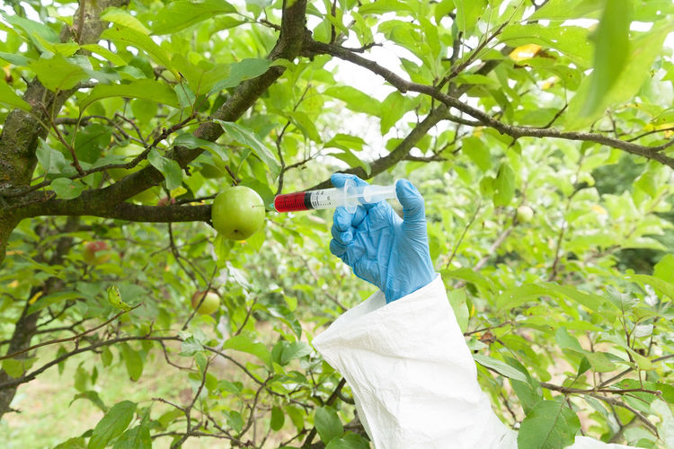 Artificial color injected into fruit. Genetically modified fruits. Agriculture Apple Experiment GMO Genetically Modified Research Science Apple Tree Artificial Chemical Dangerous Dna Engineering Environmental Issues Fruit Genetic Engineering Genetic Modification Growth Health Non-organic Orchard Protection Toxic Tree Unhealthy