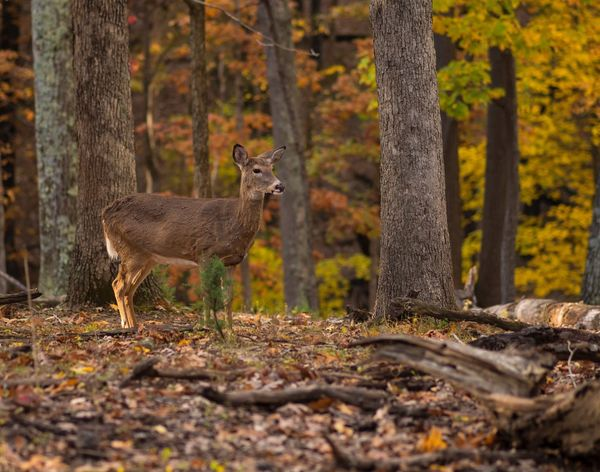 Autumn Doe Animal Wildlife One Animal Animals In The Wild Autumn Deer Nature Forest Tree Animal Themes Day Outdoors Standing No People Beauty In Nature Whitetail Deer Doe Lone Elk Park Missouri Wildlife St. Louis Best EyeEm Shot Conservation Autumn Fall Colors Golden Hour