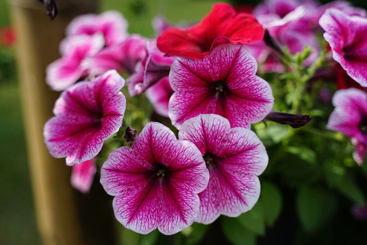Petunia Red Petunia Pink Flower No People No People No Person Day Flower Head Flower Petunia Pink Color Petal Close-up Plant In Bloom Blooming Flowering Plant Plant Life