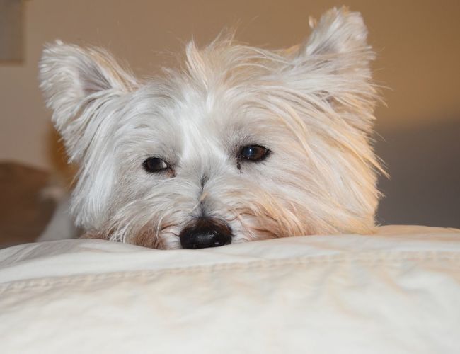 My little Westie does not want to get out of bed. Bedroom Eyes ##westhighlandwhiteterrier#westie #westielife Animal Themes Dog Domestic Animals Indoors  Loyalty One Animal Pampered Pets Pets Pillow Angels West Highland White Terrier Westie Pet Portraits