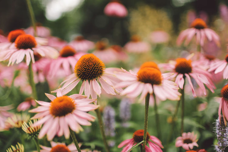 Beauty In Nature Blossom Botany Close-up Coneflower Daisy Day Eastern Purple Coneflower Flower Flower Head Focus On Foreground Fragility Freshness Growth In Bloom Nature Nature Petal Pink Color Pollen Richmond Park, London Rural Scene Springtime Stem Summer