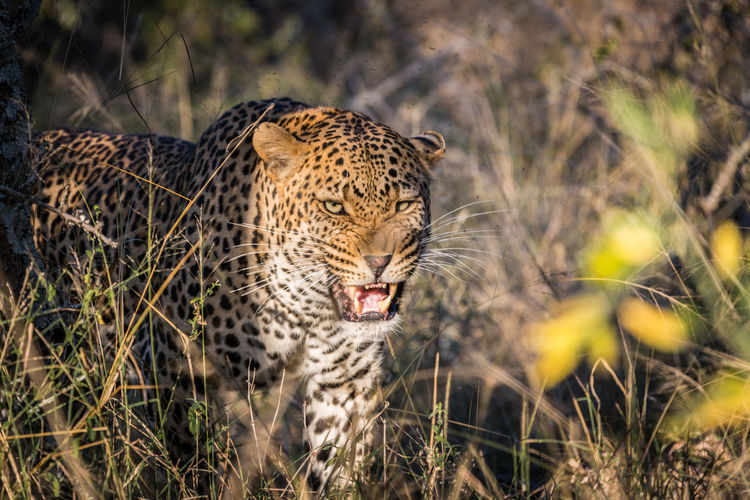 Kruger Park Animal Themes Animal Wildlife Animals Hunting Animals In The Wild Cheetah Close-up Day Feline Grass Leopar Leopard Mammal Nature No People One Animal Outdoors Safari Animals Spotted