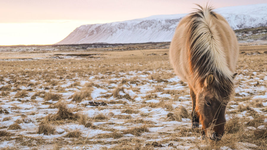 The Icelandic horse is a special breed of horses, developed in the country for 1000 years. These horses are smaller than other horses, almost pony size. The high variety of colors make the Icelandic horse a really popular attraction for visitors. Dramatic Animal Scene Horses Iceland Iceland Animal Iceland Scene Icelandic Horse Breed The Icelandic Horse Animal Themes Horseback Riding Iceland Horse Iceland Trip Icelandic Icelandic Animal