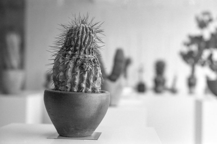 Close-up of cactus plant on table