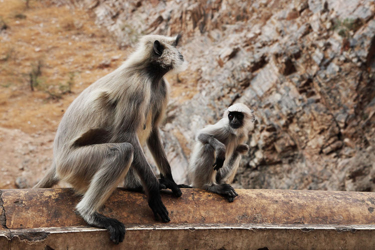 Langur family sitting on retaining wall outside temple