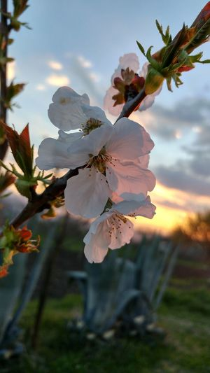 cherry blossoms 🍒 Love #beautiful #Nature  #flowers #likeforlike #likemyphoto #qlikemyphotos #like4like #likemypic #likeback #ilikeback #10likes #50likes #100likes #20likes #likere EyeEmNewHere EyeEm Selects Like Like4like EyeEm Best Shots EyeEmNewHere EyeEm Nature Lover Flower Head Flower Mountain Pink Color Close-up Sky Plant Landscape In Bloom Plant Life Blossom Cherry Blossom Cherry Tree Petal Pistil Pollen Blooming Flowering Plant