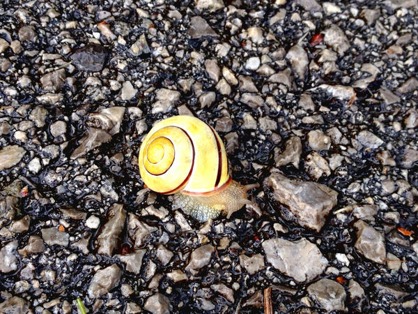 Asphalt Animal Shell Animal Themes Animals In The Wild Close-up Day Fragility Gastropod High Angle View Nature No People One Animal Outdoors Snail Yellow Snail Animal Antenna Slug Shell Empty Road Slow Slimy Antenna