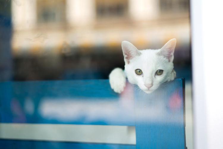 white cat,