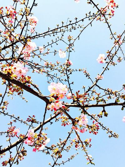Low Angle View Growth Tree Flower Sky Standing 桜 櫻