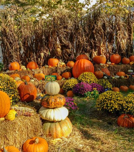 Pumpkin patch for fall No People Plant Day Pumpkin Nature Food And Drink Sunlight Outdoors Orange Color Large Group Of Objects Wellbeing Freshness Growth Healthy Eating Land Tree Food Beauty In Nature Garden Abundance
