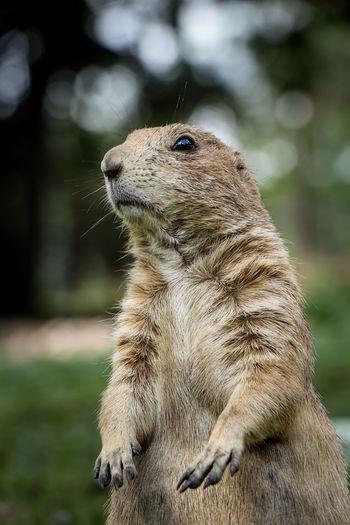 Close-up of meerkat on field