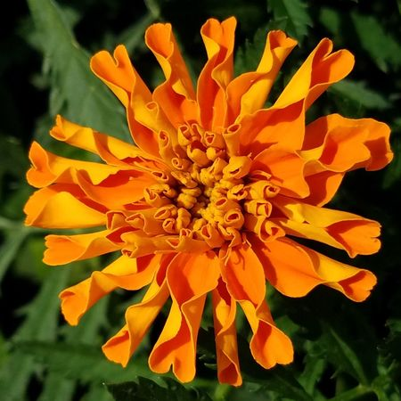 Marigold flower. Flower Petal Flower Head Beauty In Nature Nature Freshness Plant Fragility Growth Close-up Outdoors Day Beauty No People