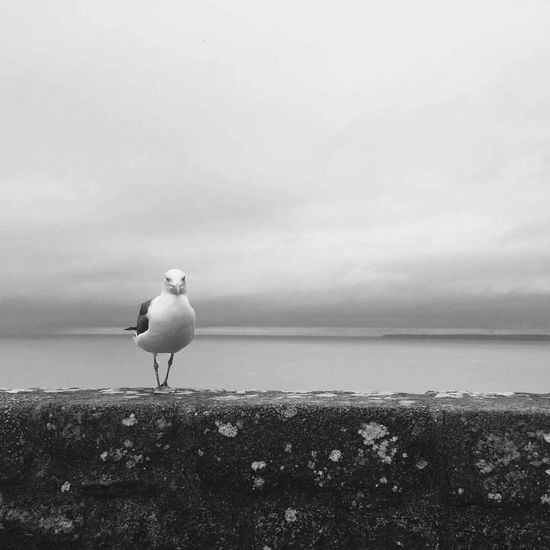 Gull France Normandie Mountsaintmichel Bird One Animal Animal Themes Sea Blackandwhite