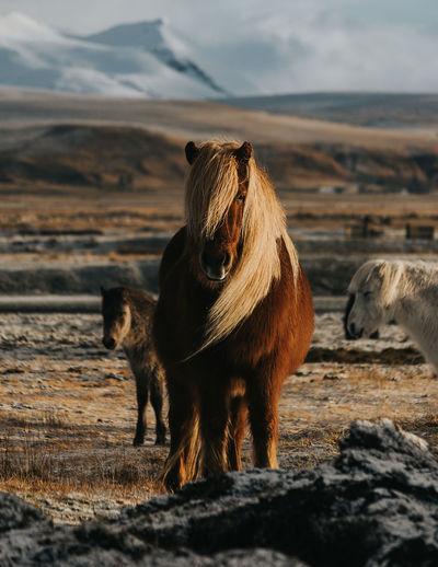 Icelandic horses standing on landscape