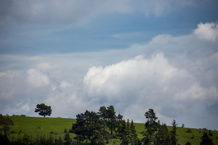 Pine trees on green Rhodope mountain hill in Bulgaria with puffy white clouds Bulgarian Nature Rhodopes Travel Beauty In Nature Bulgaria Cloud - Sky Clouds And Sky Day Dospat Environment Green Color Growth Idyllic Landscape Low Angle View Nature No People Outdoors Pine Tree Rhodopemountains Scenics Sky Tranquil Scene Tranquility Tree
