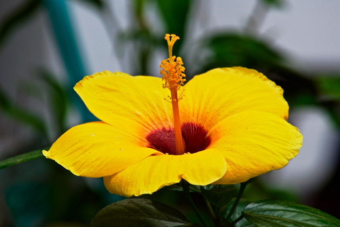 Hibiscus 🌺 Beauty In Nature Blooming Close-up Flower Flower Head Fragility Growth Hibiscus Close-up Hibiscus Flower Nature No People Outdoors Petal Plant Yellow