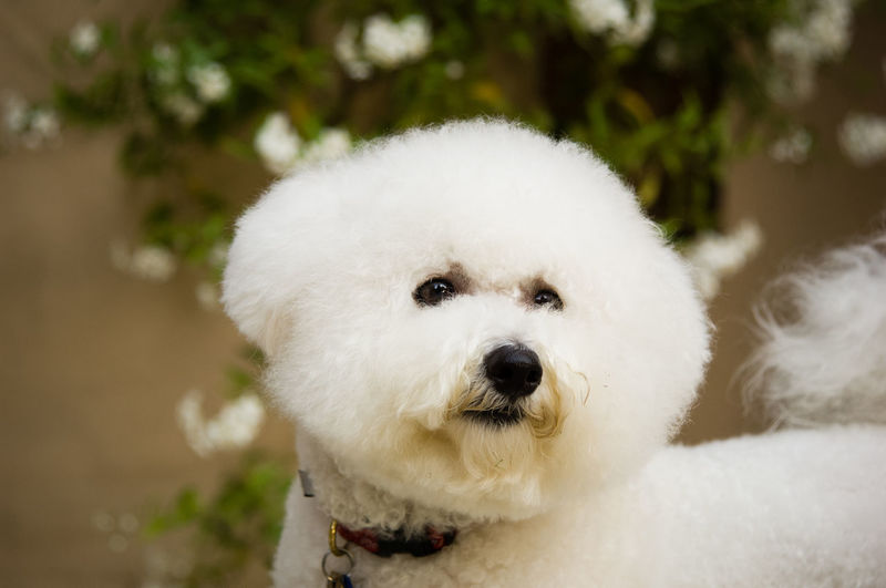 Close-Up Portrait Of White Dog Sitting Outdoors