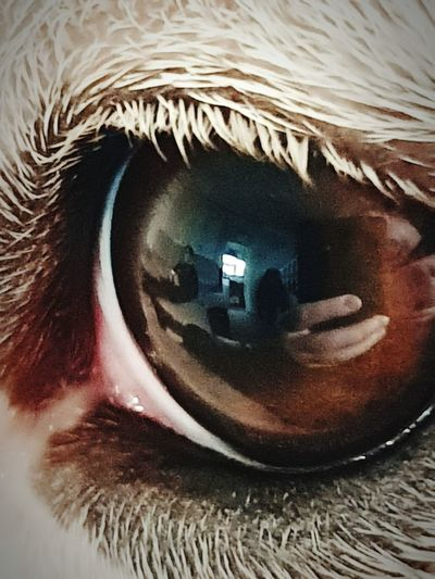 Reflection of a dogs eye Pets Corner Dogs Eye Eyes Reflection Macro Macro Photography Macro_collection Something Different Taking Photos Taking Pictures Photography Themes Photographing Eyelash Portrait Close-up Eyeball Eyesight Eyebrow Sensory Perception Iris Iris - Eye Eyelid Hazel Eyes