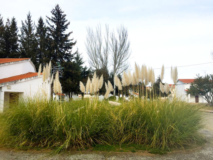 Architecture Beauty In Nature Built Structure Cortaderia Cortaderia Selloana Day Environment Environmental Conservation Environmental Damage Environmental Issues Flower Garden Grass Green Color House Invasive Invasive Plant Invasive Species Nature No People Outdoors Pampas Grass Problem Sky Tree