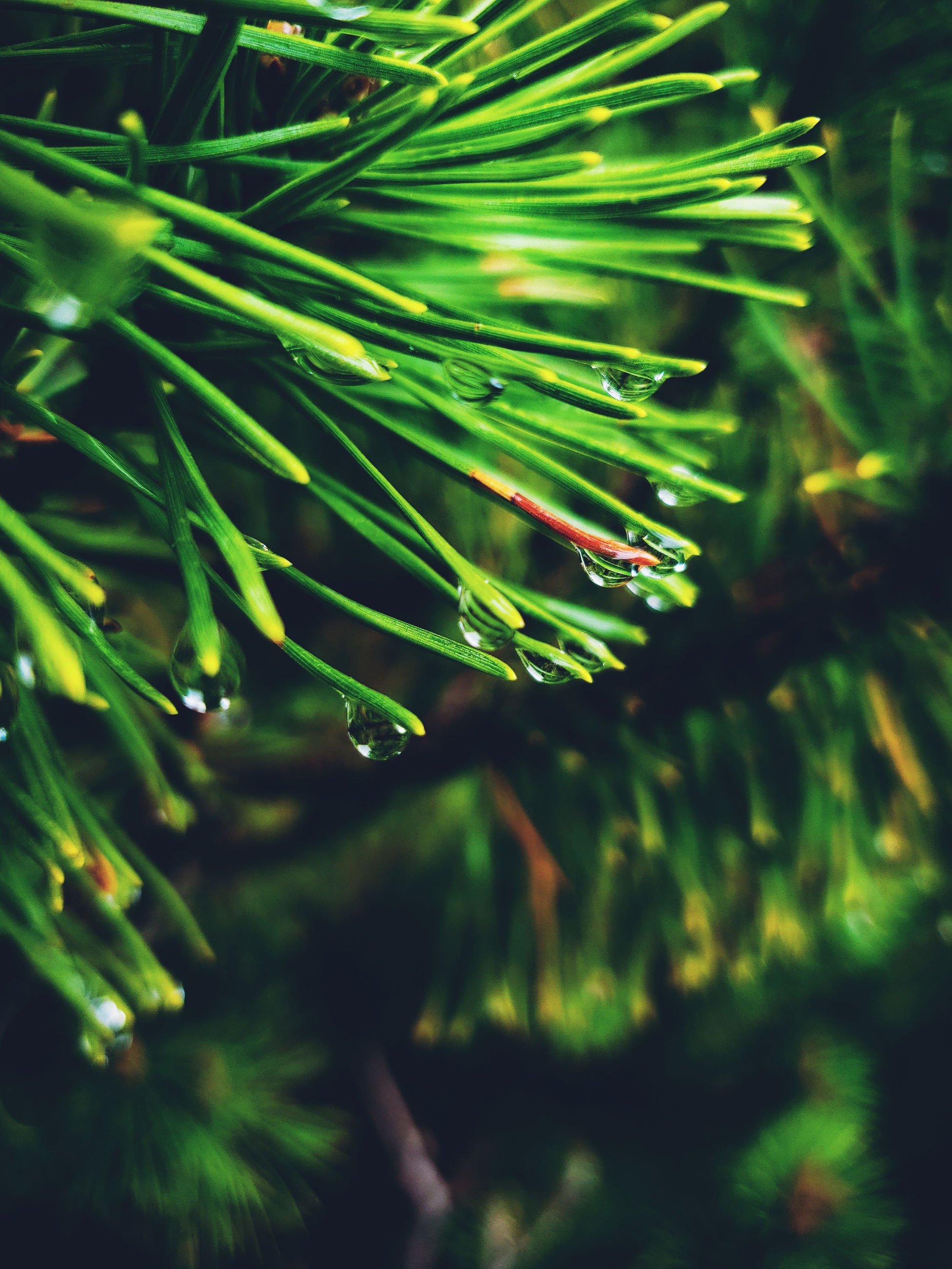 plant, green color, growth, beauty in nature, selective focus, close-up, day, nature, no people, tree, tranquility, outdoors, branch, pine tree, leaf, focus on foreground, plant part, needle - plant part, freshness, coniferous tree, fir tree