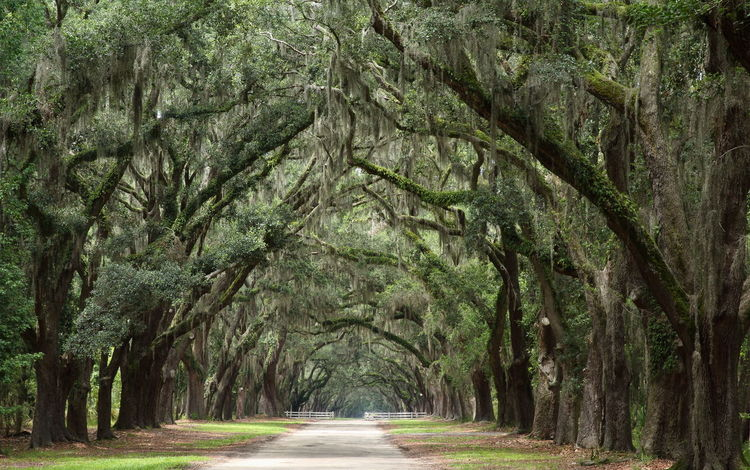 The famous southern live oaks covered in Spanish moss!🌳🌳 Trees Oaks Oak Trees Southern Oak Trees Nature Spanish Moss Spanish Moss On Oak Tr Moss Landscape Road Scenics Tranquility The Way Forward Forest Wormsloe Historic Site Savannah in Georgia United States