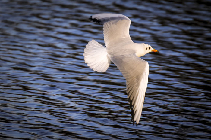 Slender-billed gull in flight Slender Litter Frog Animal Themes Animal Wildlife Animals In The Wild Beauty In Nature Bird Birds Close-up Day Flight Flying Lake Nature No People One Animal Outdoors Rippled Scavenger Seagull Spread Wings Swan Water Water Bird Waterfront