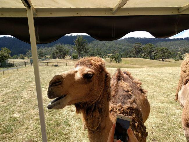 Animal Animal Themes Mobilephotography Travel Destinations NoEditNoFilter Tasmania Happiness Hobart Desert Sand Sunlight Tree Sky Camel