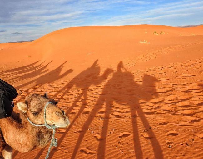 Camels at sandy desert