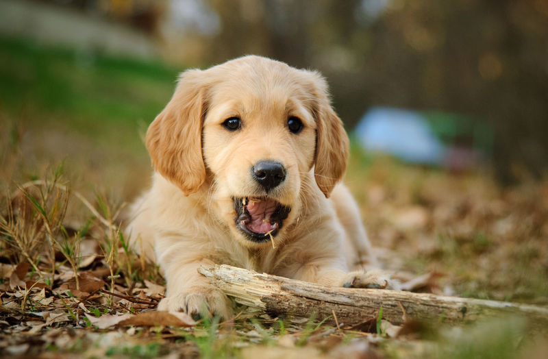 Golden Retriever puppy dog outdoor portrait Golden Retriever Retriever One Animal Dog Pets No People Domestic Domestic Animals Canine Mammal Puppy Young Animal Outdoors Animal Themes Portrait Looking At Camera Field Close-up Mouth Open Animal Head  Animal Chewing Stick