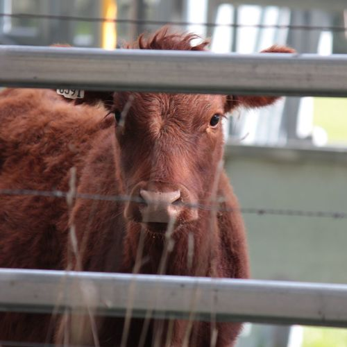 Friendnotfood Animal Love Australia Outside Farming Day Country EyeEm Selects Looking At Camera Agriculture Rural Scene Barn Cow Animal Nose Beef Paddock Cattle Livestock Tag Domesticated Animal Tag Farm Animal Livestock Herbivorous Calf Domestic Cattle Dairy Farm