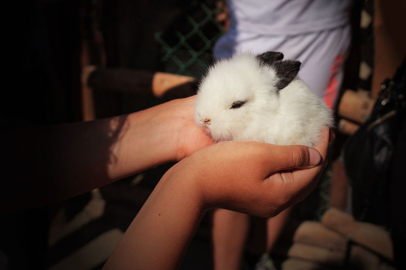 Close-up of hand holding white rabbit