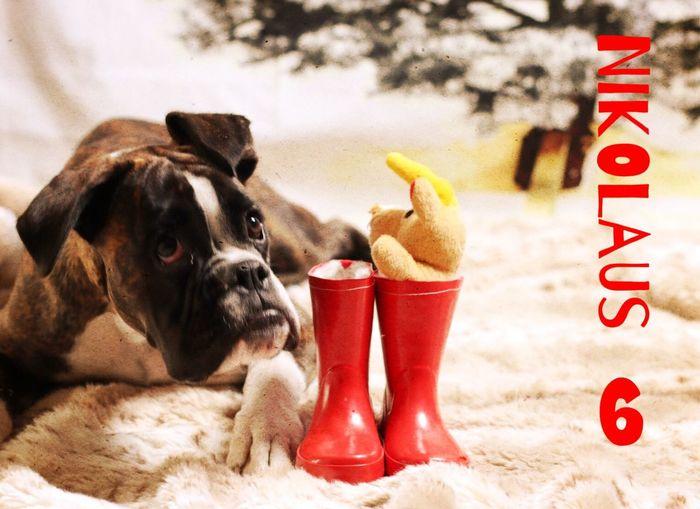 Nikolaus-Türchen 6 Juno's Adventskalender Juno's World For My Friends That Connect Boxer Dogs I Love My Dog Enjoying Life Dog