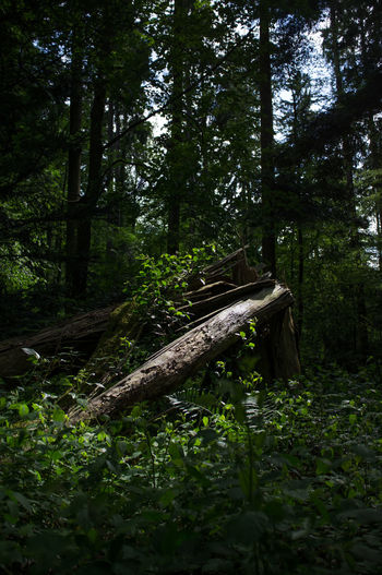 the broken tree Beauty In Nature Branch Broken Broken Tree Clearing Dead Tree Destroyed Destroyed Tree Forest Forest Glade Glade Green Color Into The Woods Nature Old Outdoors Plants Power Of Nature Spotlight Storm Thicket Tree Tree Tree Tunk Wood
