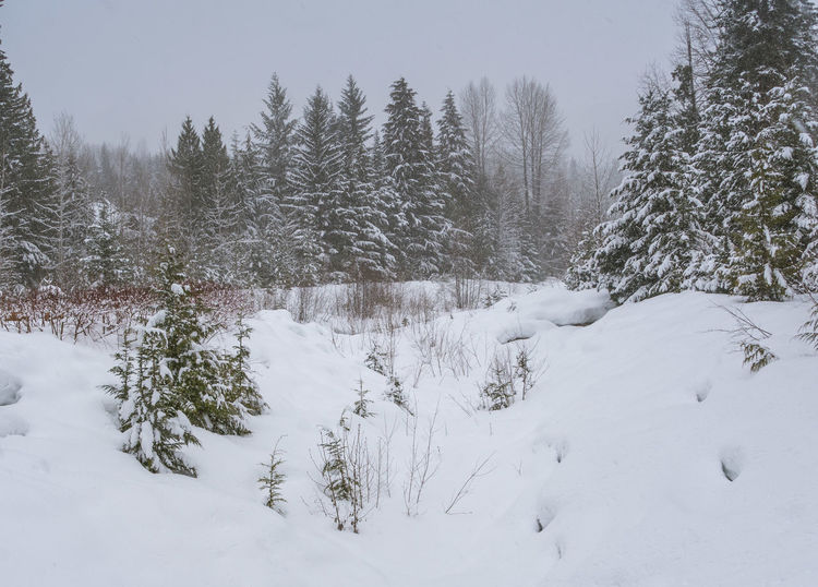 #beautifulbc #landscape #Nature  #supernaturalBC #whistlercreek Beauty In Nature Cold Temperature Coniferous Tree Day Landscape Nature No People Outdoors Scenics Snow Snowing Tranquil Scene Tranquility Tree White Color Winter