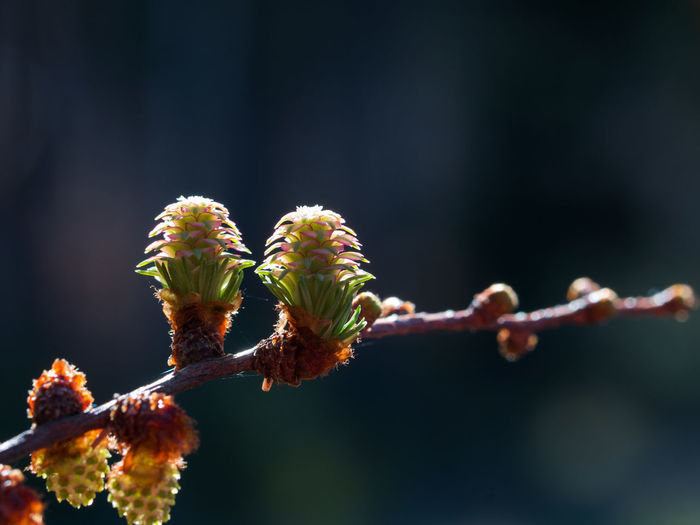 Beauty In Nature Close-up Day European Larch Flower Focus On Foreground Fragility Growth Nature No People Outdoors Plant
