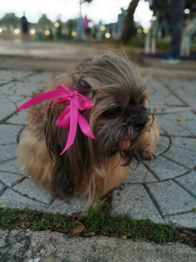 Child Pets Girls Portrait Childhood Close-up Hair Clip Braided Paving Stone Stray Animal Footpath Blooming Dog Sidewalk Pet Leash Cobblestone