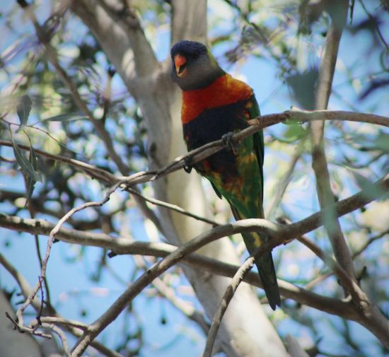 This cheeky Lorikeet was sitting on this tree laughing at me ;p Birds Nature Photography Eye4photography  Bird Photography EyeEm Best Shots Ladyphotographerofthemonth EyeEm Nature Lover Treegasmic Tuesday Nature_collection Trees