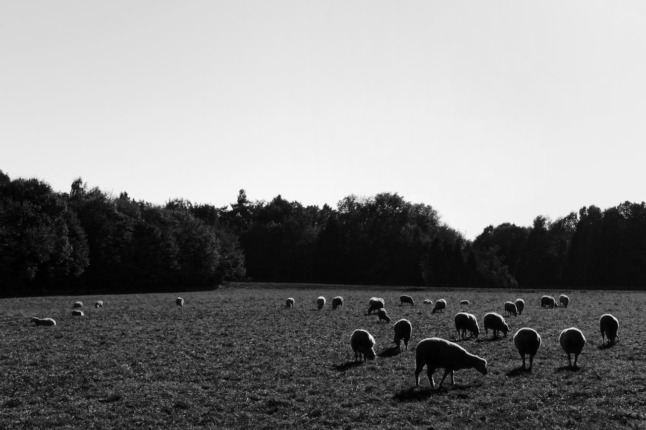copy space, clear sky, landscape, tree, large group of animals, field, animal themes, outdoors, no people, nature, day, flock of sheep, beauty in nature, mammal, domestic animals, sky, grass