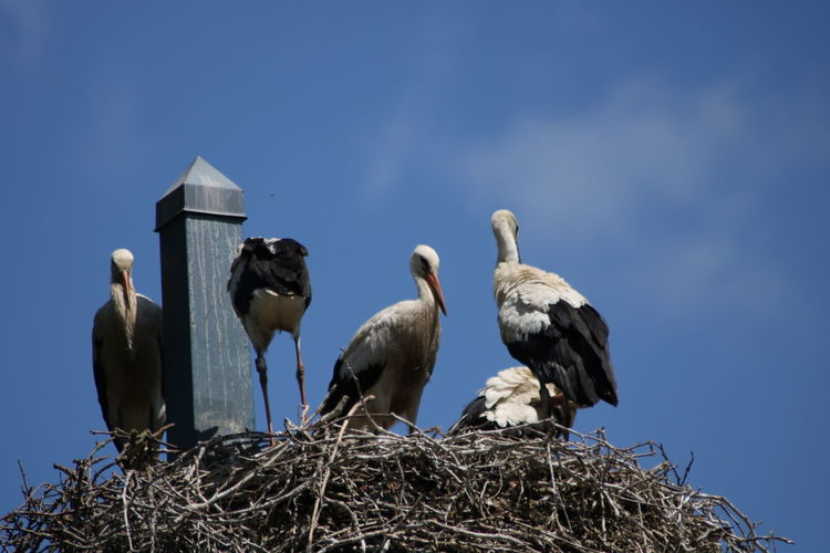 Animal Themes Animal Wildlife Animals In The Wild Beauty In Nature Bird Bird Nest Day Low Angle View Nature No People Outdoors Perching Sky Stork Togetherness White Stork Young Stork Young Storks