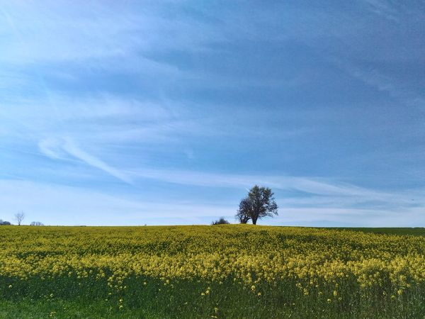 Beauty Nature Beauty In Nature Jaune Jaune🌻 Nature Printemps Yellow Flower Yellow Tree Cereal Plant Rural Scene Agriculture Blue Field Summer Crop  Flower Sky