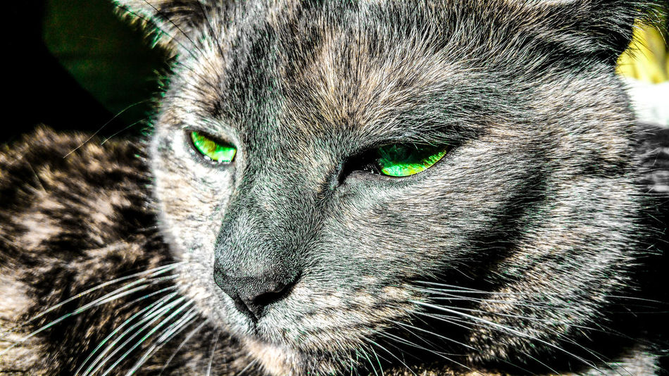 Animal Animal Eye Animal Hair Animal Head  Animal Themes Cat Close-up Day Detail Domestic Animals Domestic Cat Feline Green Eyes Pets Portrait Selective Focus Staring Tortoiseshell Cat Whisker