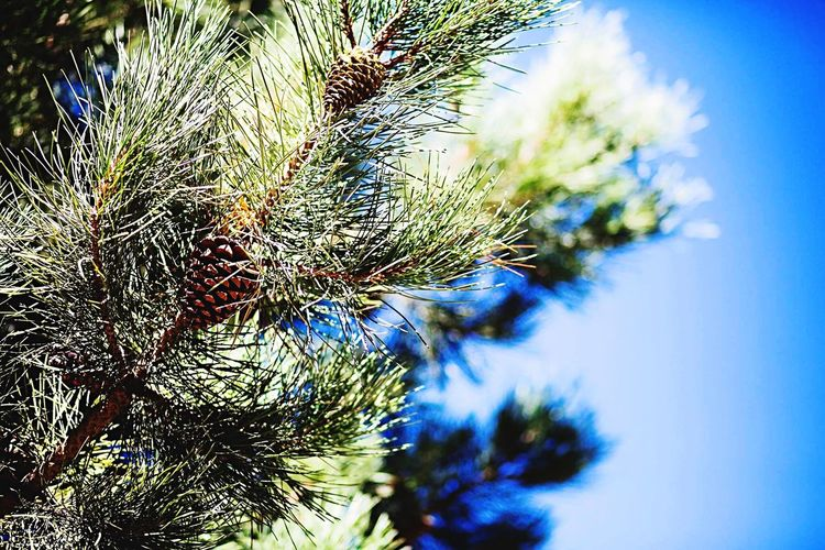 Pinetrees Pinecone Blue Sky Trees Nature Morocco Atlasmountains Mountains And Sky Traveling Pine Needles Imlil Berber
