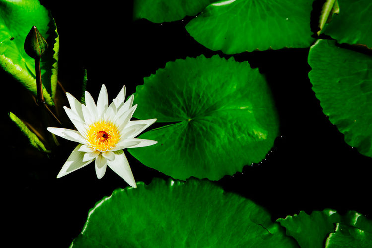 Close-up of lotus water lily on leaves