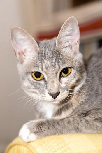 Pets Portrait Kitten Feline Domestic Cat Ear Looking At Camera Sitting Cute Alertness Yellow Eyes Animal Eye Animal Ear