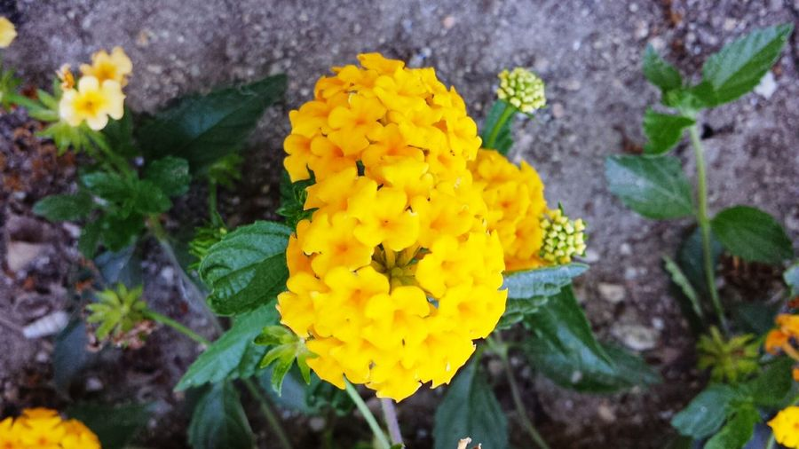 Yellow Flower Life Bunches Sweet Beauty Yard flower garden Cheer Uplifting Spirit Positivity EyeEmNewHere