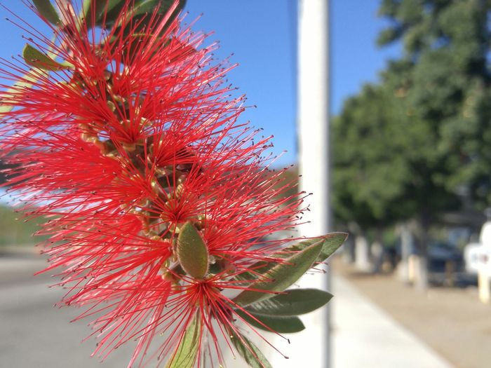 Bit of bottle brush tree hanging over Sepulveda, 405 in background Enjoying Life Hello World First Eyeem Photo